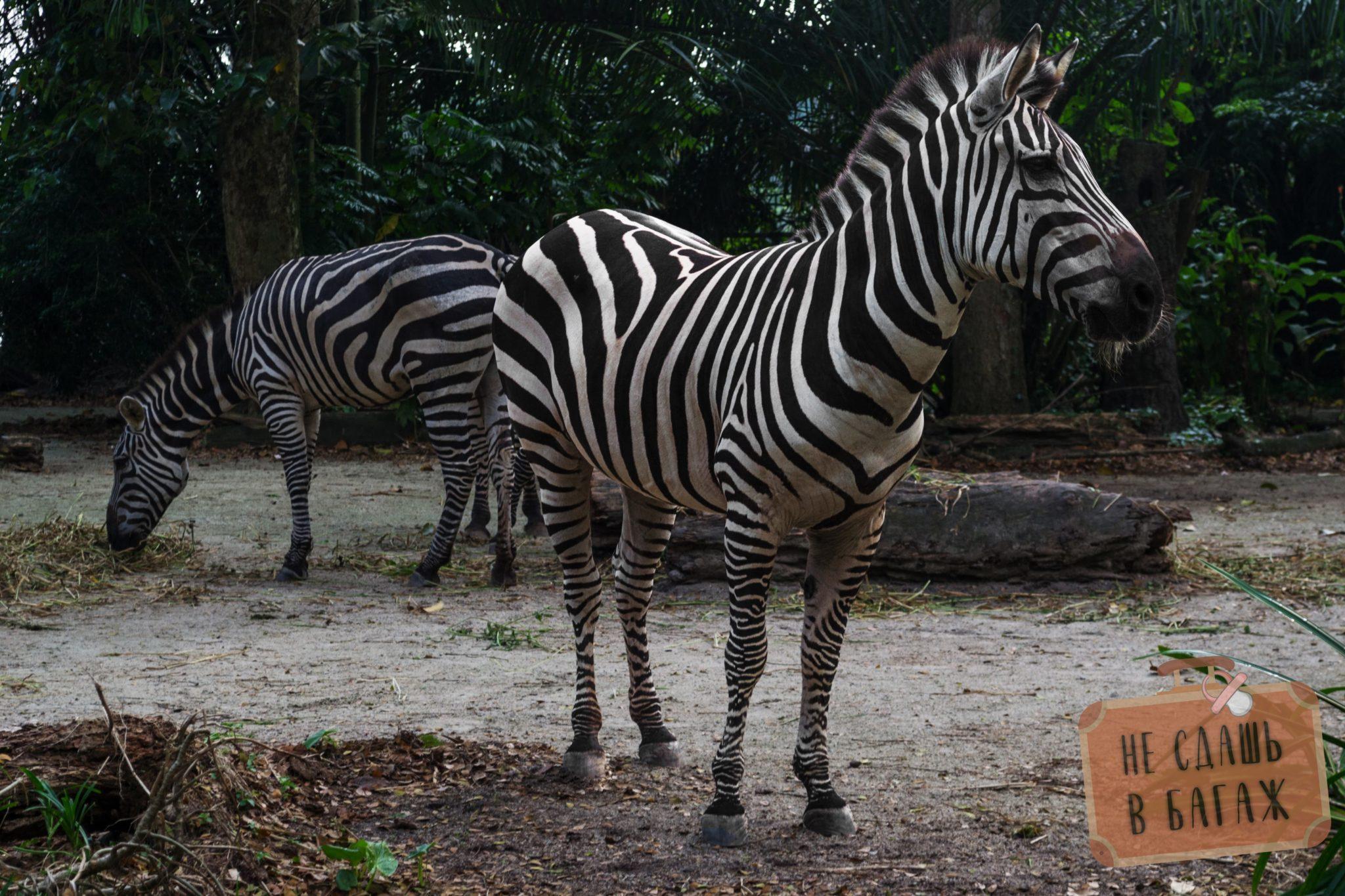 Зебры в зоопарке Сингапура