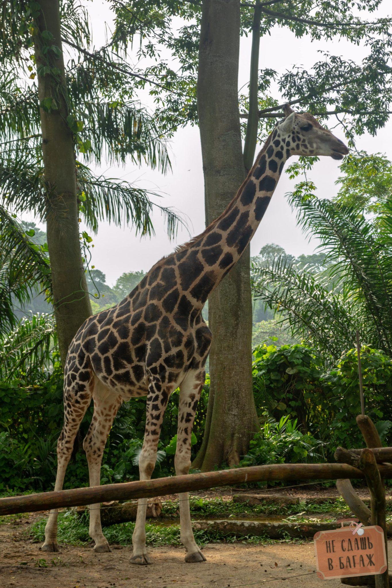Жираф в зоопарке Сингапура
