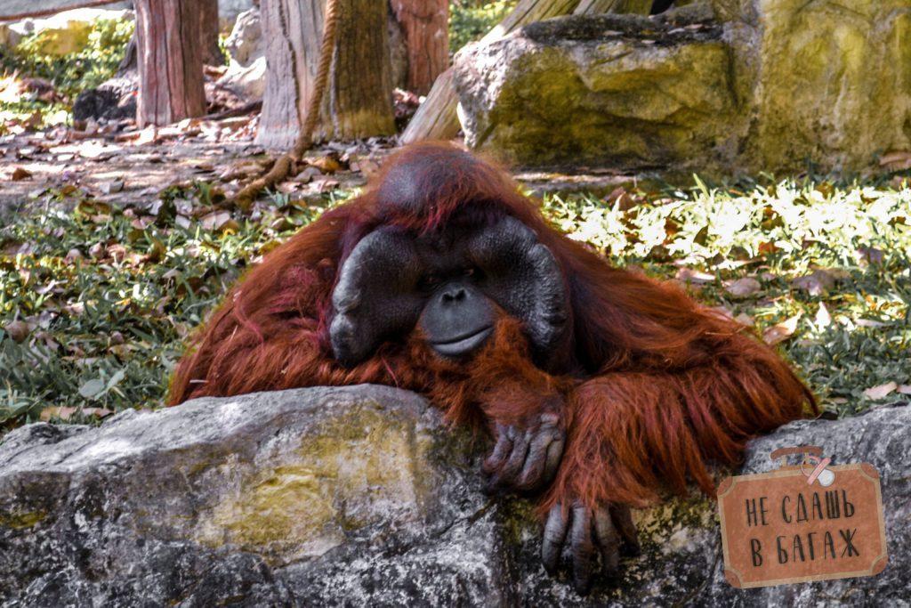 Грустный, потому что одинокий, орангутанг в зоопарке Чиангмай