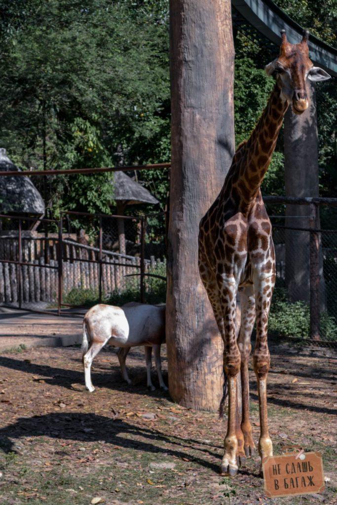 Жираф в зоопарке Чиангмай