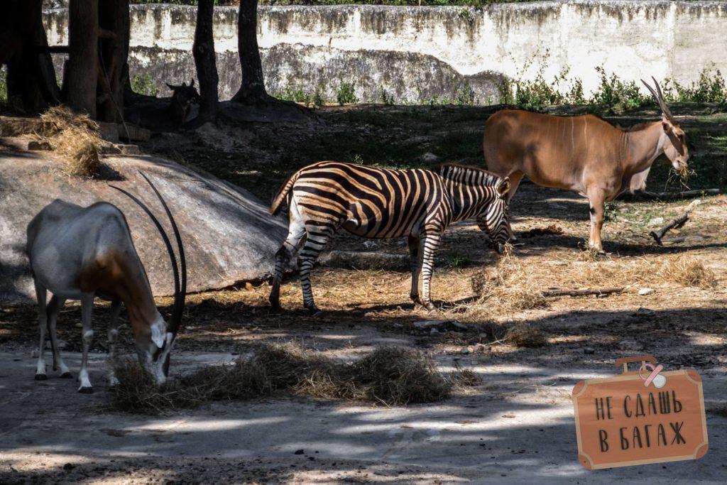 Зебры в зоопарке Чиангмай
