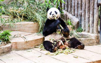 Панда в зоопарке Чиангмай во время обеда