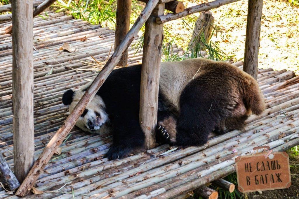 Панды до кормления