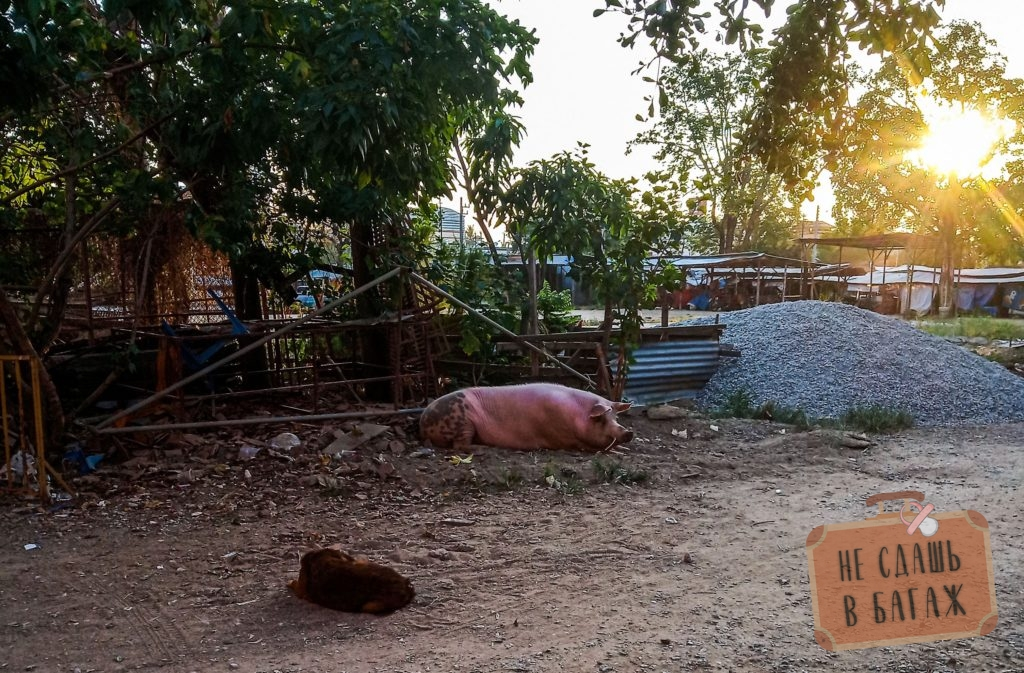 Огромная свинья на содержании в монастыре
