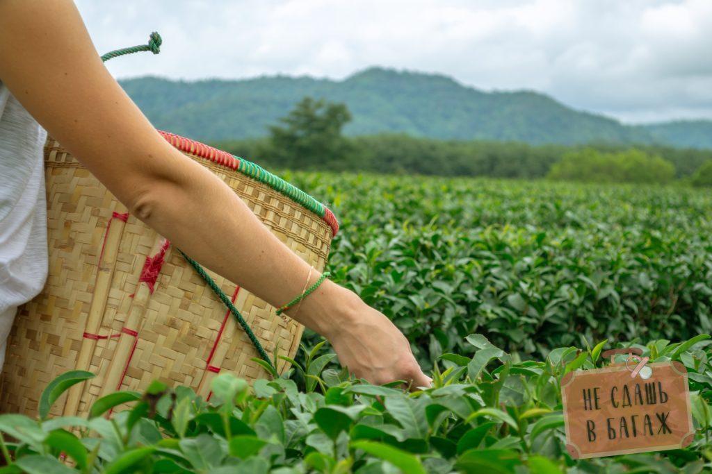 Сбор чая в Сингах Парке, Чианграй