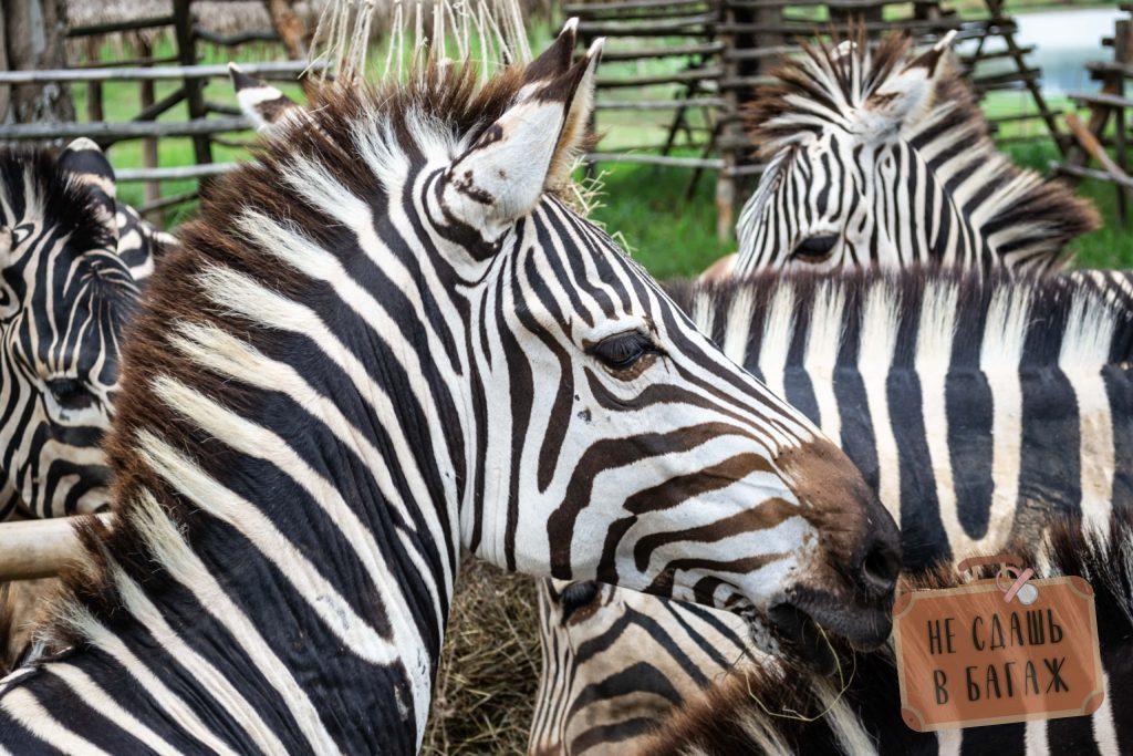 Зебры в Сингха Парке