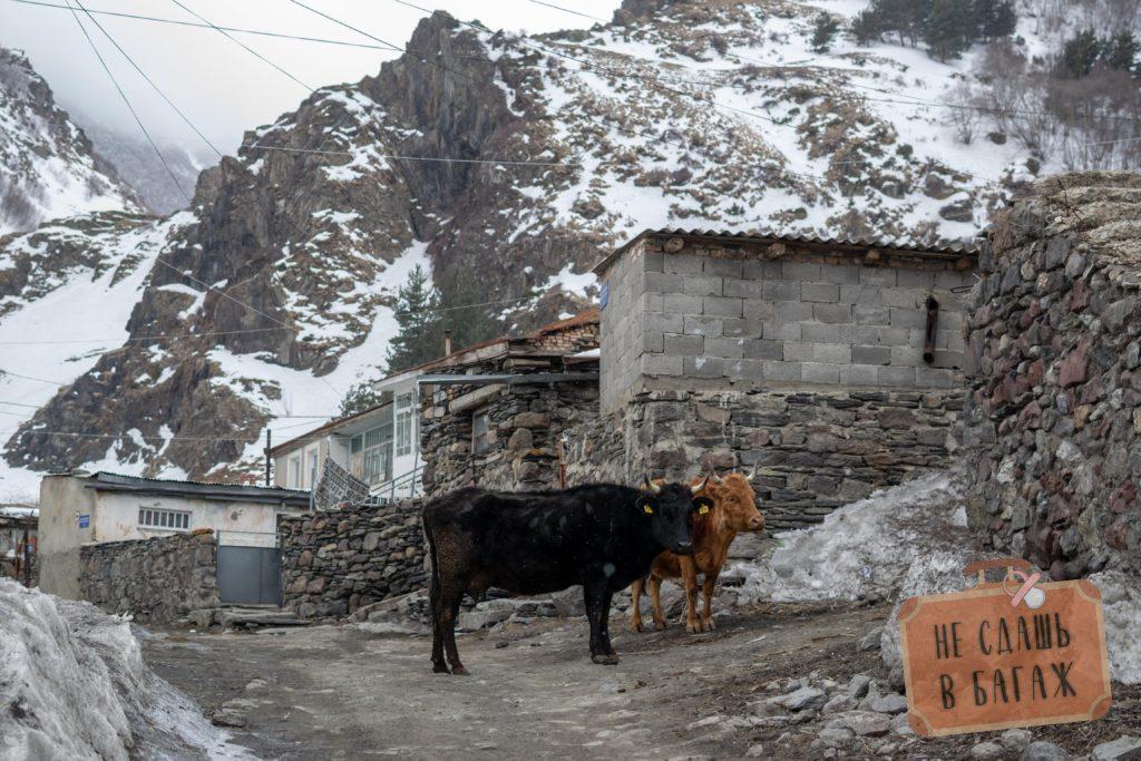 Коровы на дороге в Казбеги