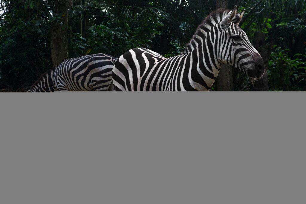 забра в зоопарке сингапура