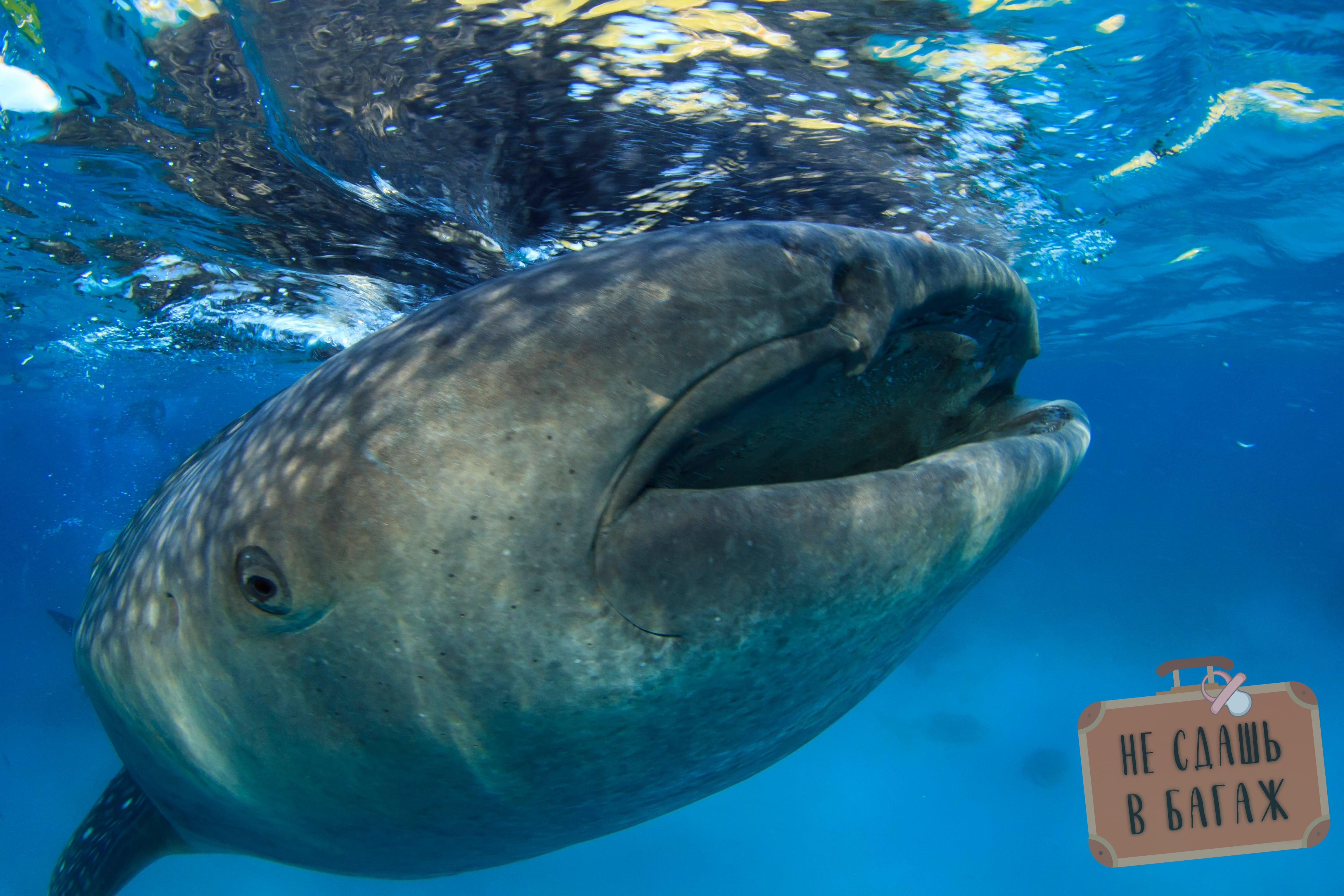 Китовые акулы в Себу
