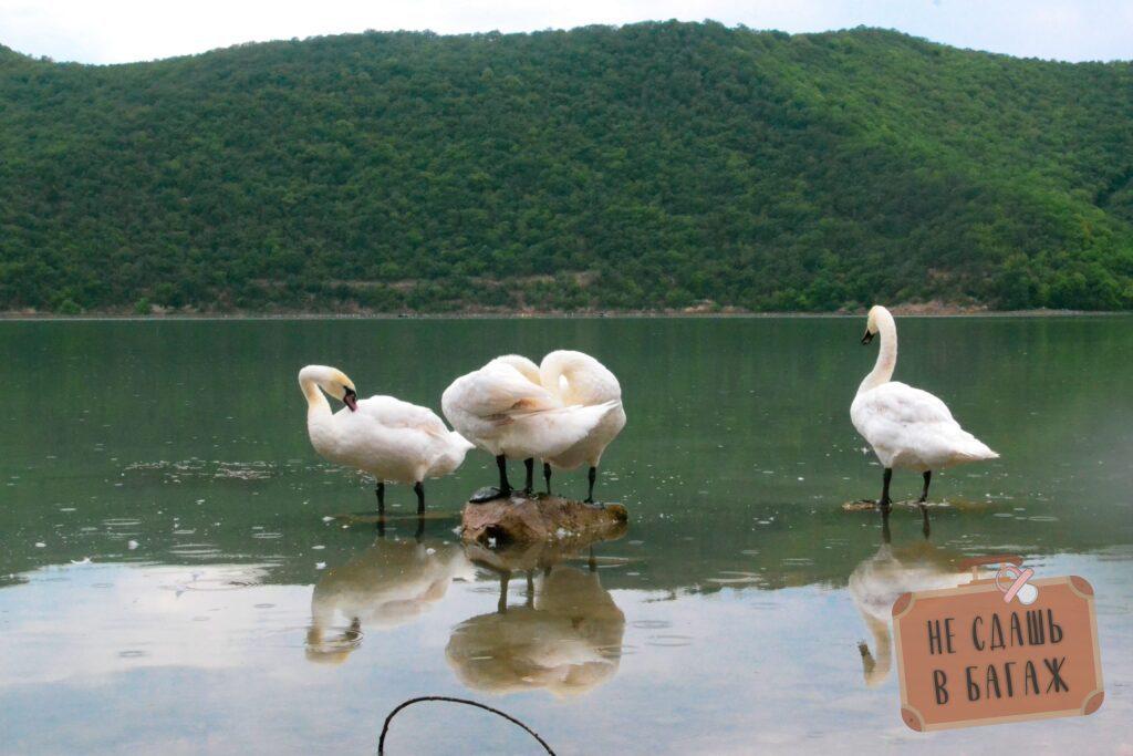 Лебеди на озере у кемпинга Абрау